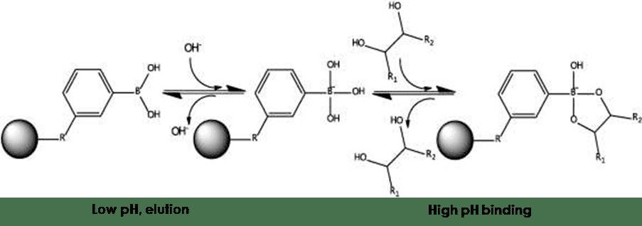 Boronic Acid Affinity Chromatography Resins
