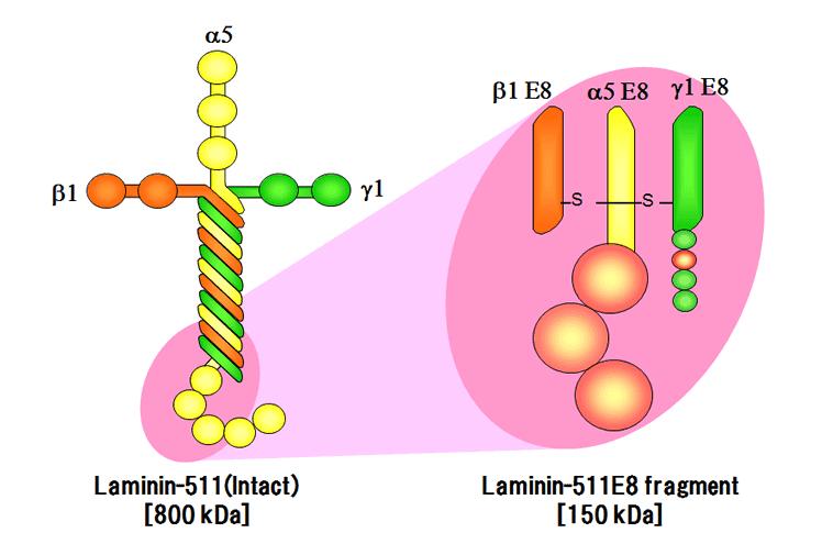 Laminin-511 E8 Fragments