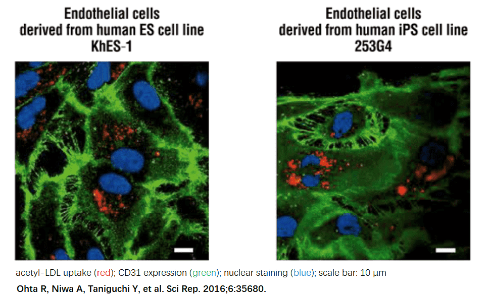 Induce endothelial cells from pluripotent stem cells